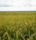 lavoura arroz