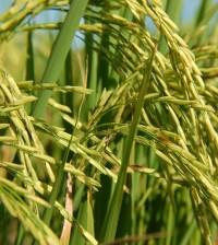 arroz 2014